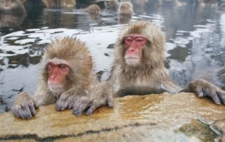 Парк Обезьян Джигокудани. Jigokudani Monkey Park, Japan