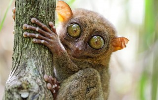 Tarsier Center, travel. Центр сохранения Долгопятов. Туризм